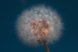 closeup photography of dandelion